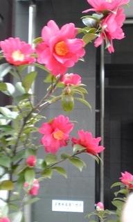 130205_1408~01山茶花.jpg