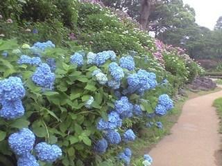 s-CA390235小田原城花菖蒲.jpg